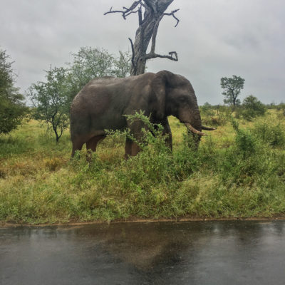 Elephant in Kruger National Park, South Africa.
